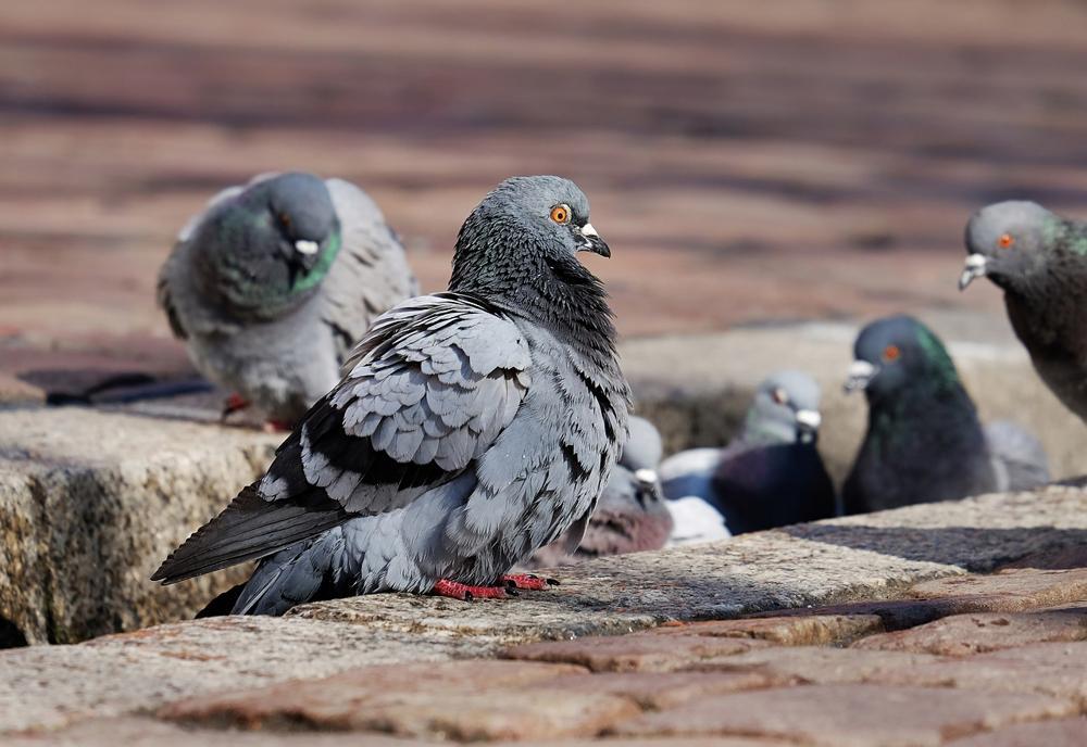 allontanare piccioni in modo naturale