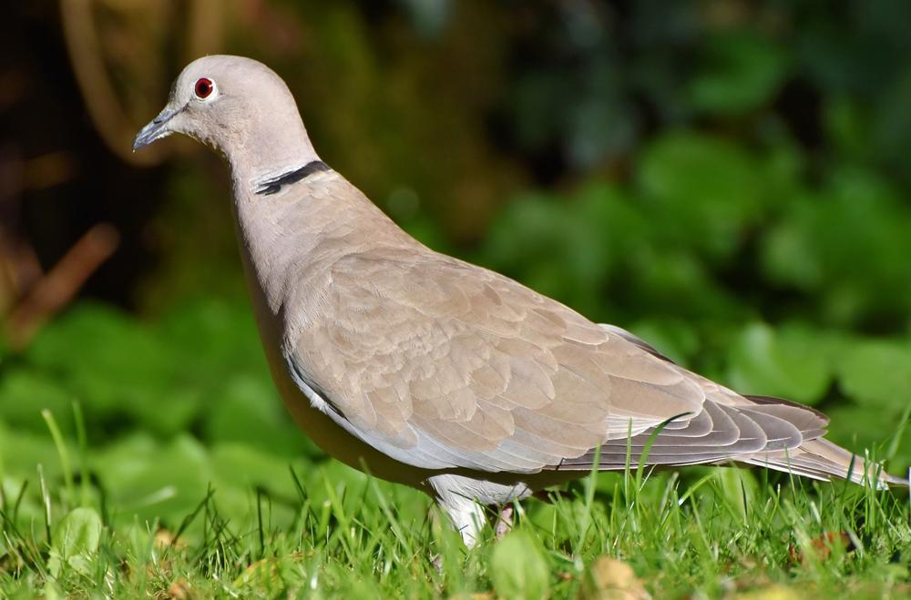 come allontanare colombi dal giardino