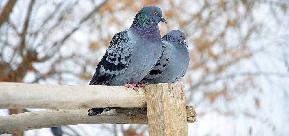 come allontanare piccioni e colombi